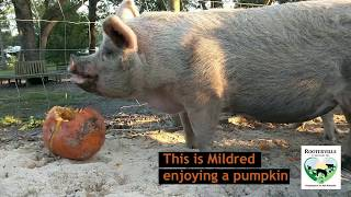 Rooterville Pigs eat donated pumpkins