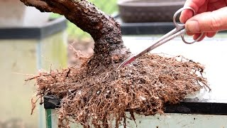 Repotting And Root Pruning A Weeping Willow Bonsai April 2016 Youtube