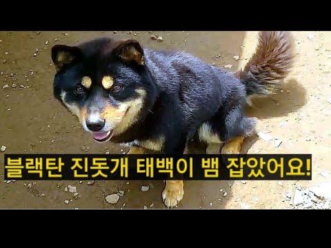 [15] 국견협회 혈통 블랙탄 진돗개 태백이 뱀을 잡았어요./영월진돗개이야기