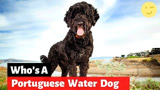 Which Dog Breed is a Portuguese Water Dog? What's so special about them?