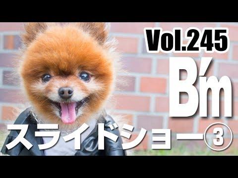 ビームのお散歩日記Vol 245:ビームくんのスライドショー③/ポメラニアン