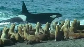 Killer Whales vs Sea Lions | Attenborough: Trials of Life | BB…