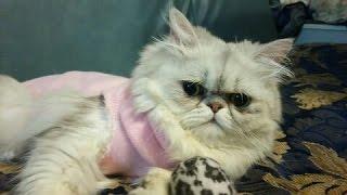 可愛いペルシャ猫達の日常。 ペルシャチンチラシルバー(雌)の アカーシ...