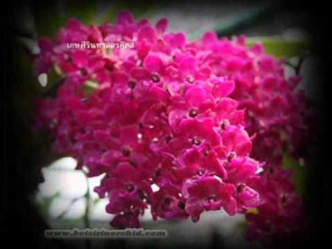 Thai Orchid – Rhynchostylis gigantea