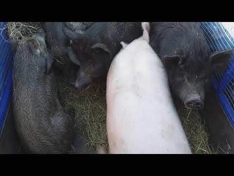 Сало мясо свинина экопродукт вес 70-80кг  цена 40-50грн Харьков