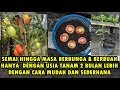Sukses!!! Semai Tanaman Tomat Di Polybag Hingga Berbuah