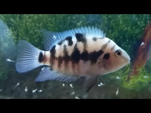 Convict Cichlid Best Tank Mates - What Fish Can You Have With Convict Cichlids