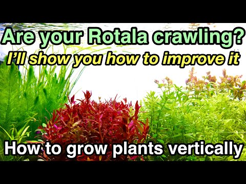 How to grow stemmed plants vertically straight〜This video is for viewers with crawling green rotala