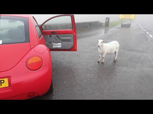 A Naughty Welsh Sheep