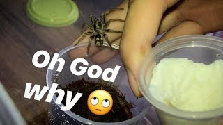 Tarantula UNBOXING ~ He ran and tried to dig in the carpet to hide LOL !!!
