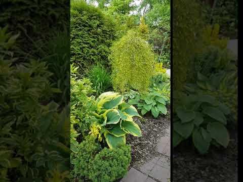 Хосты, хвойные растения и декоративные кустарники.