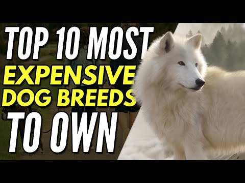 My Dog Ate All My Money - Top 10 Most Expensive Dog Breeds To Own
