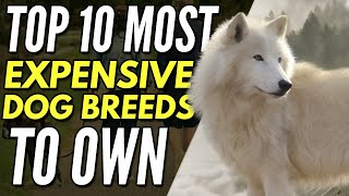 My Dog Ate All My Money  Top 10 Most Expensive Dog Breeds To Own