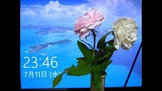 7月11日に買った花(カランコエ・ハイビスカス)&カポックその後