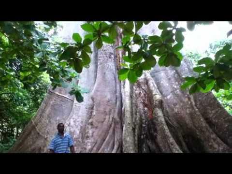 Cotton Tree - Liberia