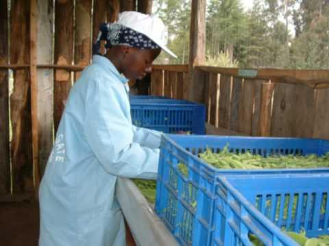 On-farm hygiene, the exporters story, North Kinangop, Kenya