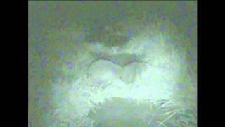 Hedgehog Courtship Image Intensified