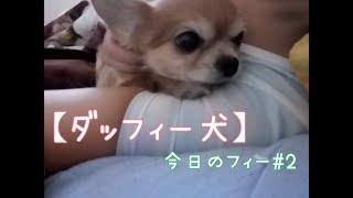 ダッフィー犬フィーフィー 通称フィーorフィーちゃんです 顔の白い部分...