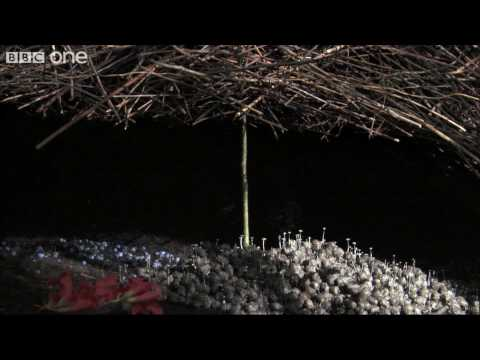 Life - The Vogelkop Bowerbird: Nature's Great Seducer  - BBC One