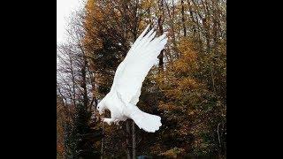 Gambar cover Beyaz Taklacı Güvercin Pigeons