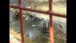 WORLD's biggest crocodile c LOLONG