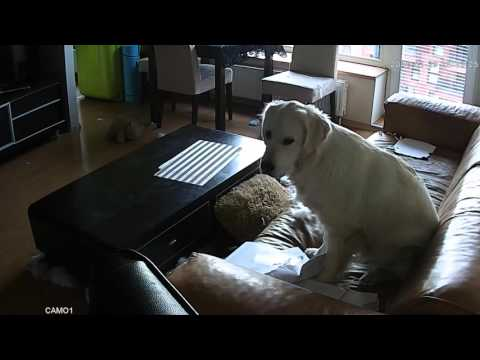 Got myself a wifi camera to spy on my golden retriever left home alone. Flat destroyed