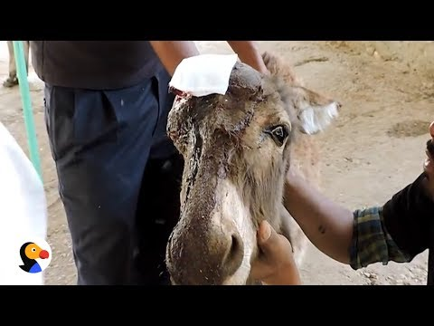 Baby Donkey With Hole in Head Gets Help From Kindest People | The Dodo