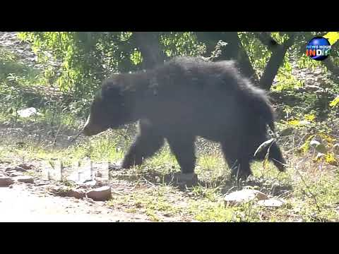Sloth Bear Digging for Termites in the forest