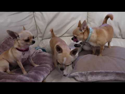 Mating Chihuahua Dogs Teacup Puppies
