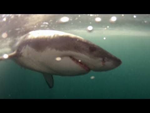 How to Track a Great White Shark and Why   Dyer Island Conservation Trust