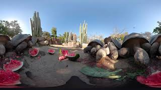 360 VR Galapagos Tortoises at the San Diego Zoo