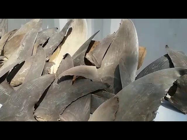 Incautan en Santa Marta 48 aletas de tiburón en vía de extinción