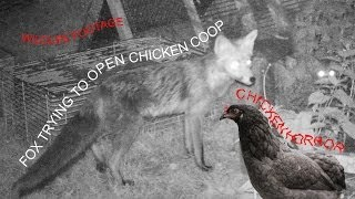 Fox Trying To Open Chicken Coop - Chicken Terror