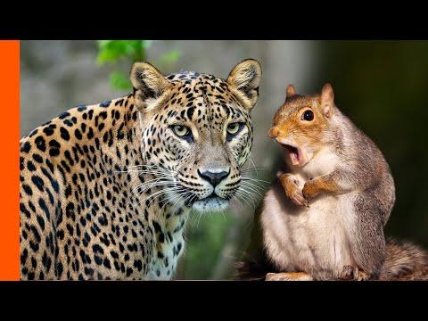 Leopard Hates Squirrel Alarm Call | Predator Perspective | Love Nature