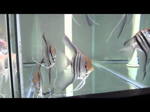 Blue Zebra Veil Fin Angelfish