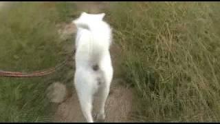 紀州犬との散歩動画です。犬の歩く姿は魅力的です。