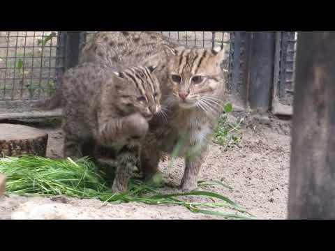 Семейство виверровых кошек 07.06.2019