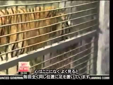 生きた牛がトラの餌 中国サファリパークの残酷見せ物 China's Zoos