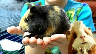 Новый Питомец купили подружку для МОРСКОЙ СВИНКИ Детское видео про Животных