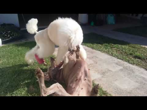 Weimarainer vs standard poodle 🐩 playing fight