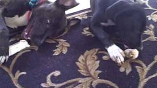 Pitbull and pit mix pups enjoying a chew together