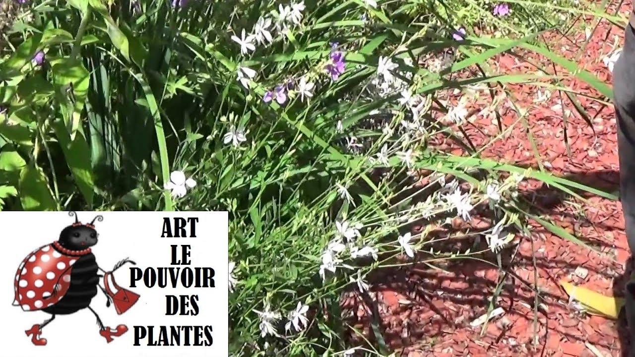 chaine de jardinage comment faire lataille et entretien gaura lindheimeri plante vivace youtube. Black Bedroom Furniture Sets. Home Design Ideas
