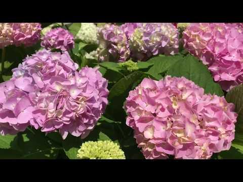 Размножение крупнолистной гортензии летом / результат и мои выводы