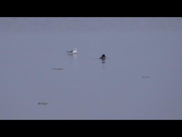 Юрмала. Февральские утки-моржи ныряют.