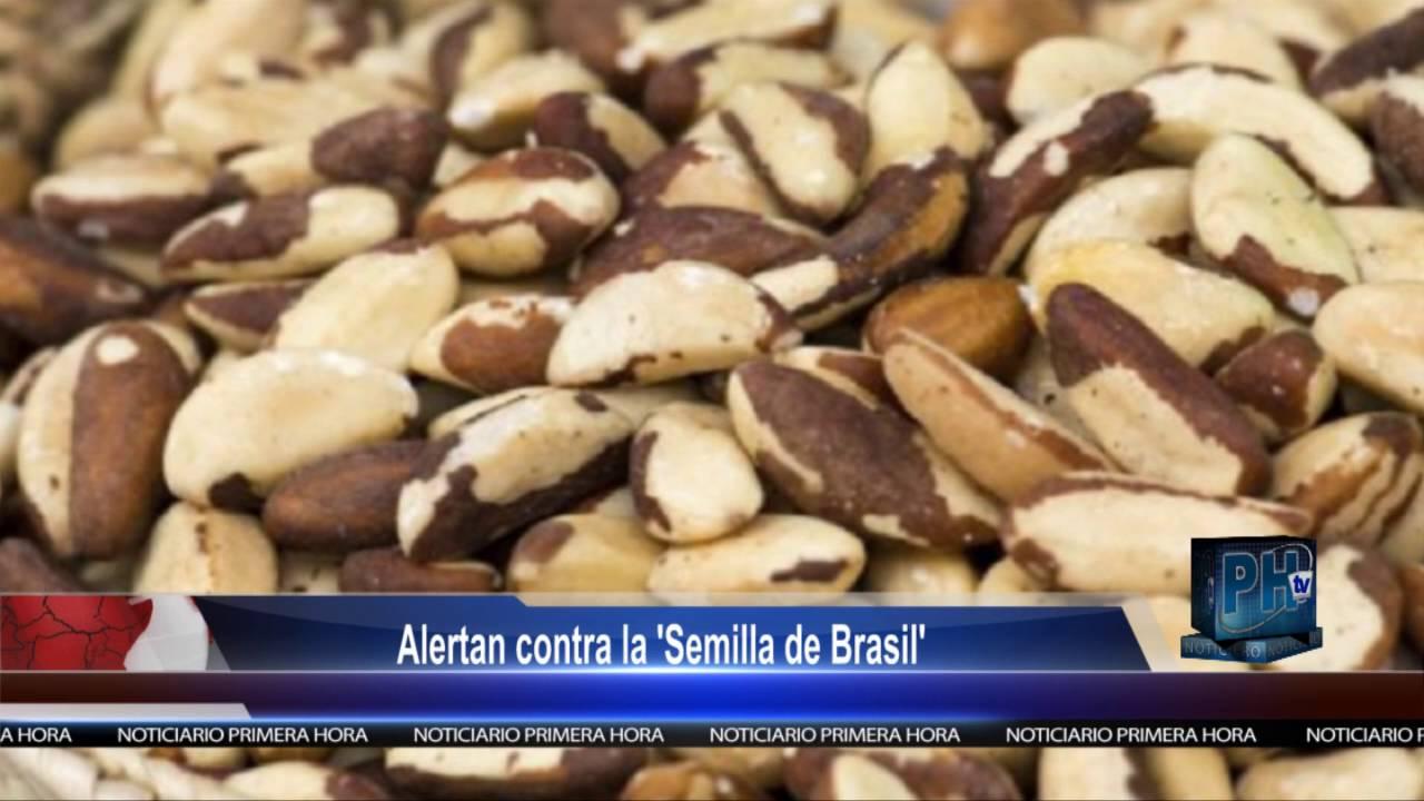 Alertan contra la 39 semilla de brasil 39 youtube Semilla de brasil es toxica