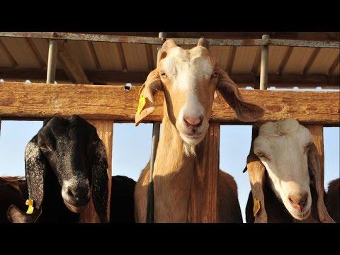 Curso Criação de Cabras Leiteiras - Sistemas de Criação