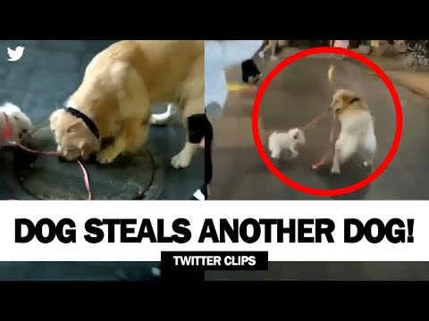 Morgen - Dog Steals Another Dog