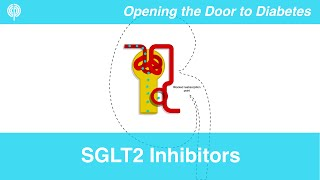 Sglt2 inhibitors are a relatively new class of diabetes medication that offer an outside the box mechanism controlling your blood sugars. here, dr. white ...