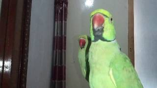 best talking parrot