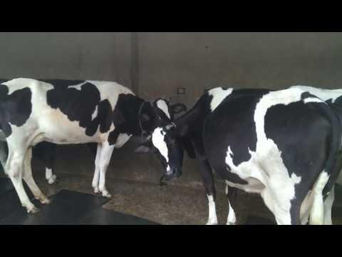 Salam Dairy Farm 2018 C0llection